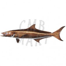 Cobia Fillets freeze 469g