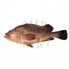 .Grouper. The fish are cleaned. Around 1100g