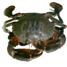 Crab medium size 1 kg